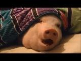 как кормить свинью